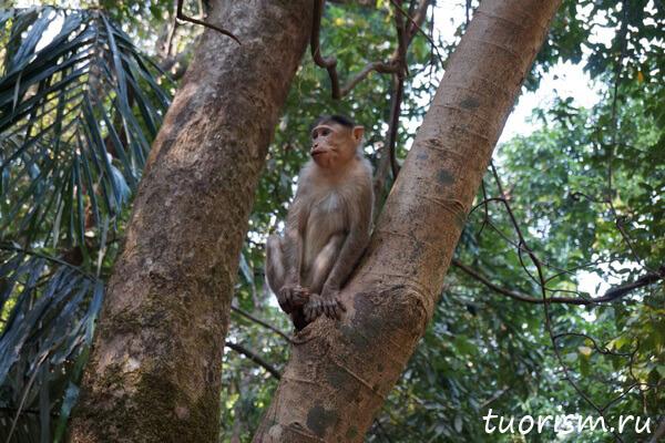 мартышка, обезьянка, Гоа, Индия, на дереве